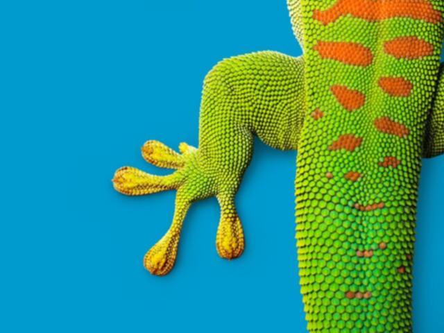 Gecko on blue background
