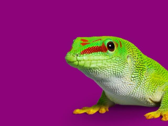bostik-gecko-on-purple-background