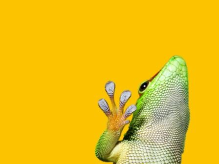 Gecko on yellow background